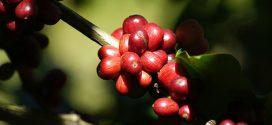 Mineiros divulgam amostras de cafés especiais na China