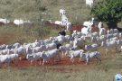 Brasil exportará gado vivo para o Irã