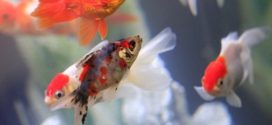 Exposição Estadual Agropecuária terá apresentação da aquacultura