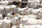 Termina nesta segunda prazo para declarar a vacinação do gado contra febre aftosa