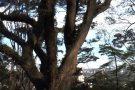 Árvore comum é usada para medir poluição em São Paulo