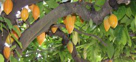 Biotecnologia pode evitar extinção do cacau e garantir a produção de chocolate