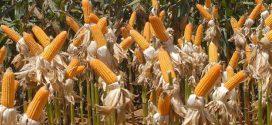 Conab projeta aumento da produção e exportação de milho na safra 2018/2019