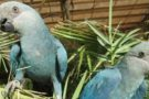 Deve começar em 2019 a reintrodução da ararinha-azul na natureza