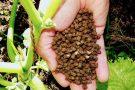Pesquisadores desenvolvem fertilizante orgânico a partir da biomassa de plantas