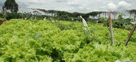 Horta comunitária produz legumes e verduras sem agrotóxicos no bairro Prefeito Walter Martins Ferreira