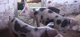 Força-tarefa encontra mais três focos de peste suína no Ceará