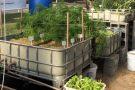 Criação de peixes integrada com hortaliças economiza 90% de água e elimina químicos